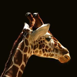 Giraffe by yuran-78