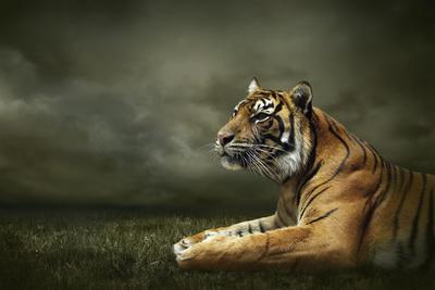 Tiger Looking And Sitting Under Dramatic Sky With Clouds