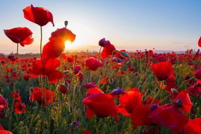 Early Morning Red Poppy Field Scene by Yuriy Kulik