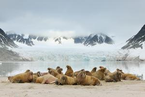 Walruses (Odobenus Rosmarus) by Yves Adams