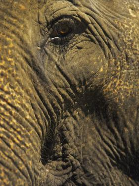 Close-up of Elephant, Thailand by Yvette Cardozo
