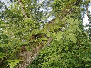 Kosrae, Micronesia. Ferns and other tropical plants climb a tree. by Yvette Cardozo
