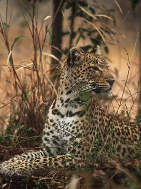 Leopard, Panthera Pardus, Londolozi Game Reserve by Yvette Cardozo