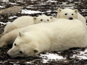 Polar Bear, Mother and Cubs, Ursus Maritimus by Yvette Cardozo