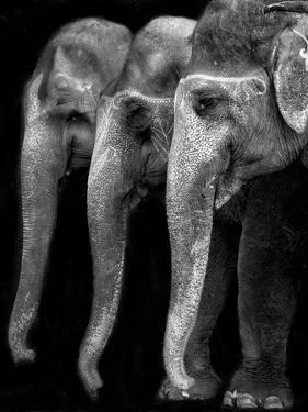 Nature's Great Masterpiece, an Elephant; the Only Harmless Great Thing... by Yvette Depaepe