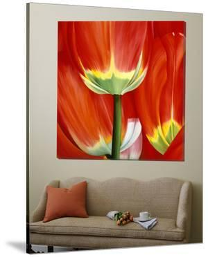 Most Beautiful Tulip I by Yvonne Poelstra-Holzaus