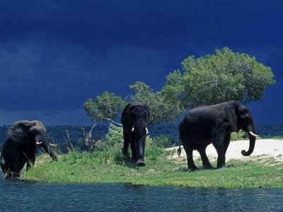 https://imgc.allpostersimages.com/img/posters/zambezi-river-male-elephants-under-stormy-clouds-on-the-bank-of-the-zambezi-river-zimbabwe_u-L-P8XSUP0.jpg?p=0
