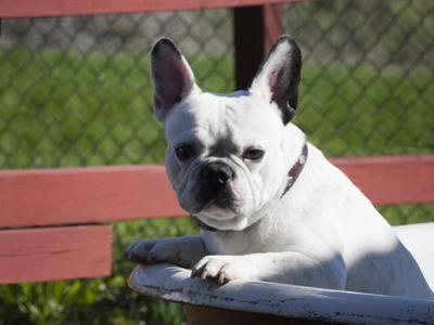 A French Bulldog Coming Out of an Old Bathtub Placed Outdoors, California, USA by Zandria Muench Beraldo