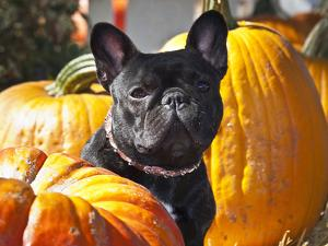 A French Bulldog Sitting Between a Row of Pumpkins by Zandria Muench Beraldo