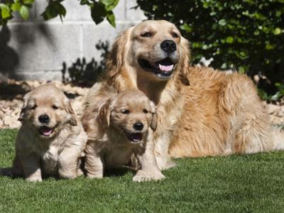 A Golden Retriever Female Lying on a Lawn with Two Puppies Running by Zandria Muench Beraldo
