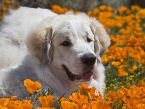 A Great Pyrenees Lying in a Field of Wild Poppy Flowers at Antelope Valley, California, USA by Zandria Muench Beraldo