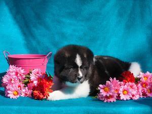 Akita Puppy with Flowers by Zandria Muench Beraldo