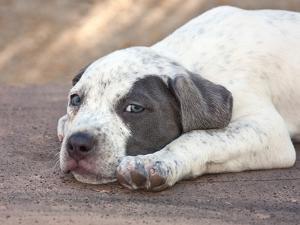 American Staffordshire Terrier Puppy Lying Down by Zandria Muench Beraldo