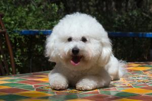 Bichon Frise on Colorful Tile Table Top by Zandria Muench Beraldo