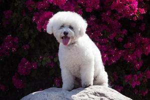 Bichon Frise Sitting on a Rock in Front of Flowers by Zandria Muench Beraldo