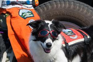 Border Collie Search and Rescue Dog by Zandria Muench Beraldo