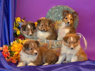 Five Shetland Sheepdog Puppies in and Out of a Hat Box by Zandria Muench Beraldo