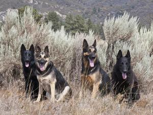 Four German Shepherds Sitting in a Field of Sage Brush and Pine Trees by Zandria Muench Beraldo