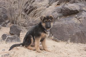 German Shepherd puppy by Zandria Muench Beraldo