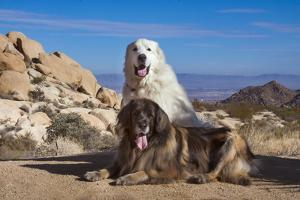Great Pyrenees and Leonberger on granite boulders by Zandria Muench Beraldo