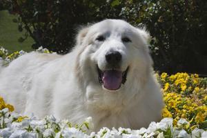 Great Pyrenees in the flowers. by Zandria Muench Beraldo