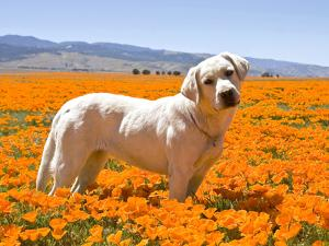 Labrador Retriever Standing in a Field of Poppies in Antelope Valley, California, USA by Zandria Muench Beraldo