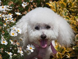 Portrait of a Bishon Frise Sitting in the Daisies by Zandria Muench Beraldo