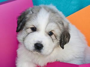 Portrait of a Great Pyrenees Puppy with Colorful Background, California, USA by Zandria Muench Beraldo