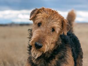 Portrait of an Airedale Terrier by Zandria Muench Beraldo