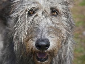 Portrait of an Irish Wolfhound by Zandria Muench Beraldo