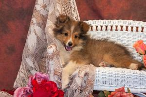 Shetland Sheepdog Lying on a White Wicker Couch and Doily by Zandria Muench Beraldo