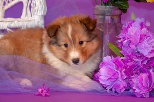 Shetland Sheepdog Puppy Lying in Purple by Zandria Muench Beraldo