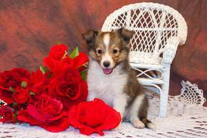 Shetland Sheepdog Sitting by a White Wicker Chair with Red Roses by Zandria Muench Beraldo