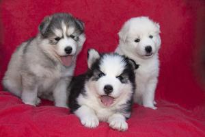 Siberian Husky puppies by Zandria Muench Beraldo