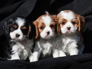 Three Cavalier King Charles Spaniel Puppies Sitting in a Row with Black Background by Zandria Muench Beraldo