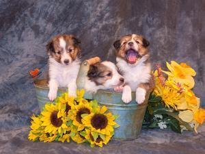 Three Shetland Sheepdog Puppies in a Gardening Can by Zandria Muench Beraldo