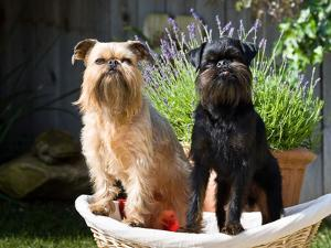 Two Brussels Griffon Standing in a Laundry Basket Outside in Front of Flower Pot by Zandria Muench Beraldo