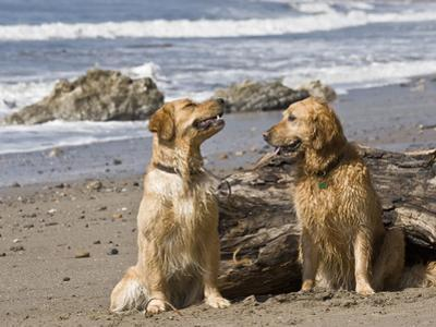 Two Golden Retrievers Sitting Together on a Beach in California, USA by Zandria Muench Beraldo