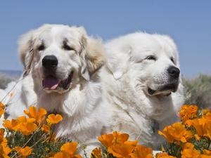 Two Great Pyrenees Lying in a Field of Wild Poppy Flowers in Antelope Valley, California, USA by Zandria Muench Beraldo