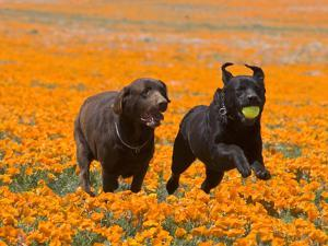 Two Labrador Retrievers Running and Playing Chase in Poppies at Antelope Valley, California, USA by Zandria Muench Beraldo