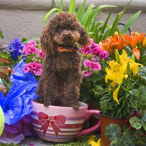 USA, California. Poodle standing in a coffee cup with flowers. by Zandria Muench Beraldo