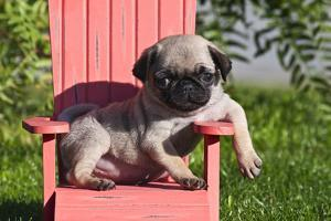 USA, California. Pug puppy slouching on a little red lawn chair. by Zandria Muench Beraldo