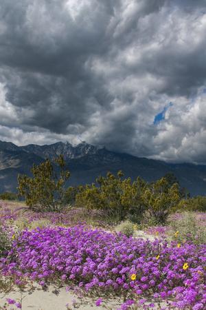 Wildflowers, San Jacinto Mountain, Palm Springs California