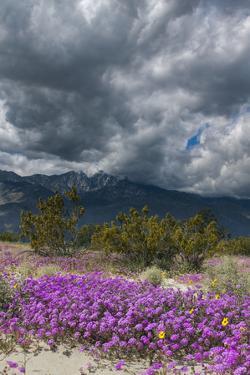 Wildflowers, San Jacinto Mountain, Palm Springs California by Zandria Muench Beraldo