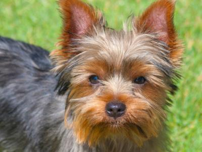Yorkshire Terrier Looking Up at You by Zandria Muench Beraldo