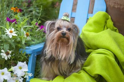 Yorkshire Terrier sitting on blue chair with green fabric by Zandria Muench Beraldo
