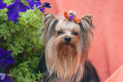 Yorkshire Terrier with potted flowers by Zandria Muench Beraldo