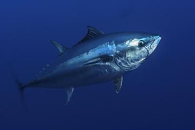 Atlantic Bluefin Tuna (Thunnus Thynnus) Portrait, Captive, Malta, Mediteranean, May 2009