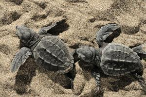 Two Newly Hatched Loggerhead Turtles (Caretta Caretta) Heading for the Sea, Dalyan Delta, Turkey by Zankl