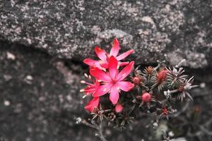 Bejaria Imthurnii (Ericaceae) on the Rocks of Mount Roraima in Venezuela by zanskar